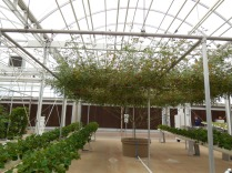 the **NEW** way to grow crops. That is one tomato plant, that they've grown up, to a trellis.